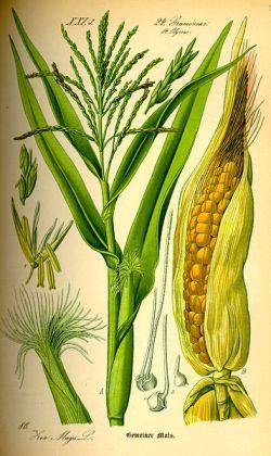 Ilustración Maiz